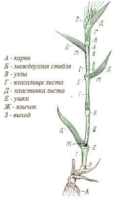 Строение стебля пшеницы рисунки