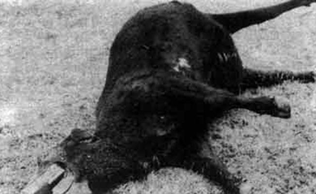 Погибший бычок