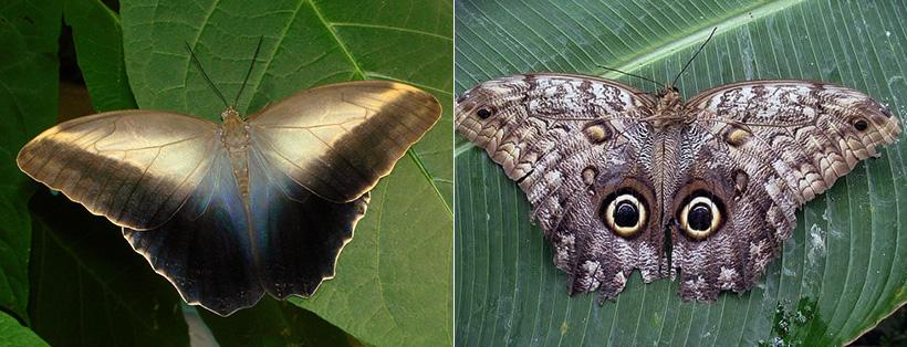 Бабочка-калиго