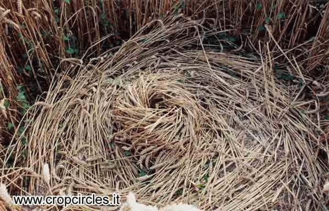 Круги на полях - колосья