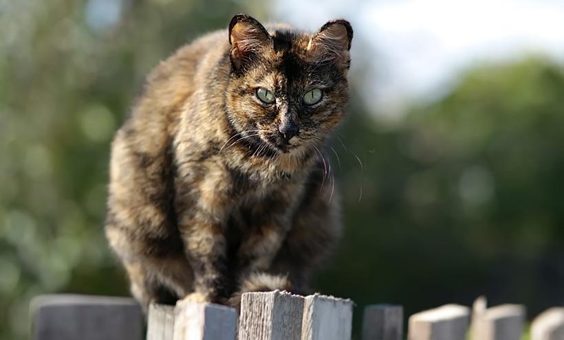 Черепаховый кот