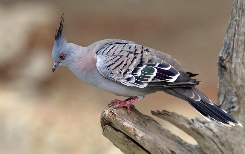 Голуби используют шум крыльев для коммуникации