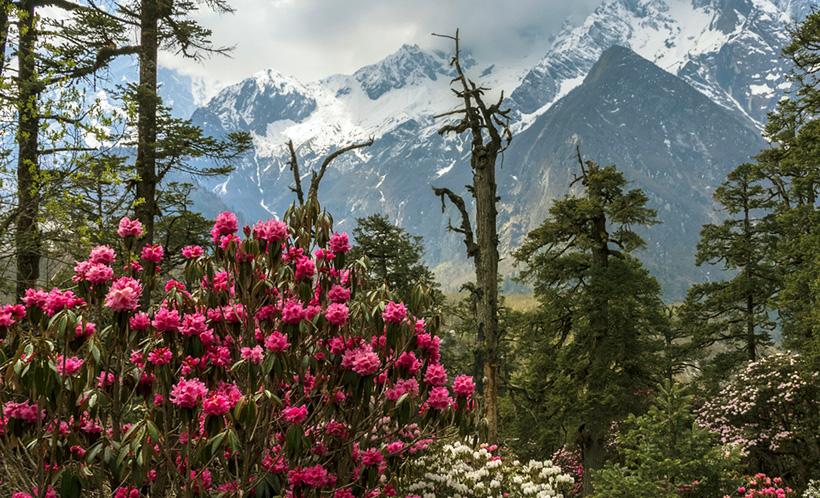 Рододендрон в Гималаях