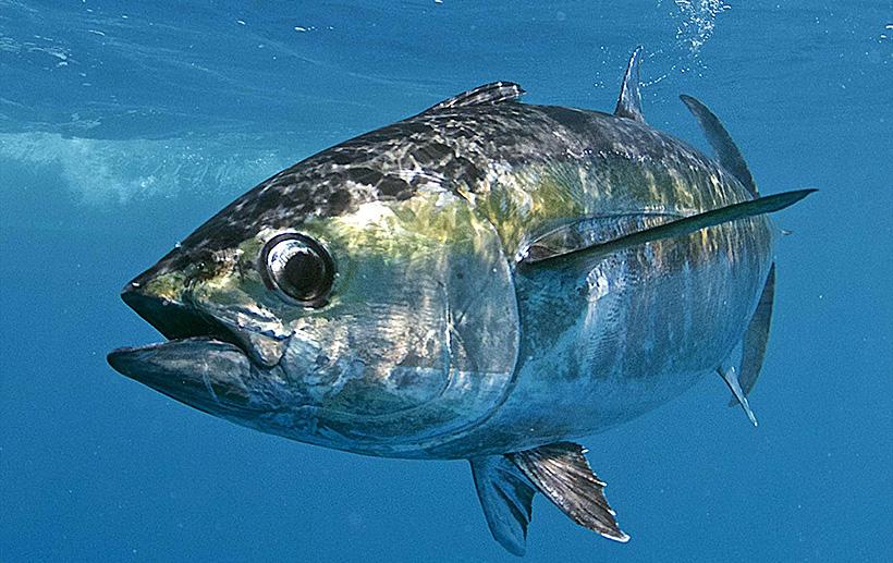 Глобальное потепление заставляет рыб «худеть»