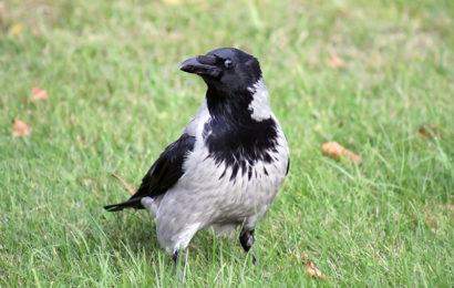 Ворона серая — интеллектуал мира птиц